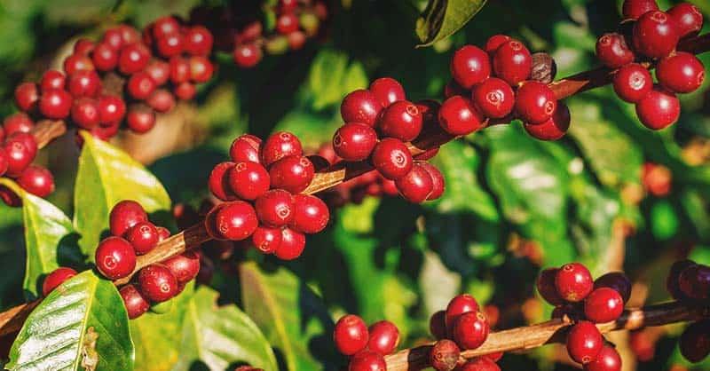 Dočkáme se někdy skutečné české kávy?